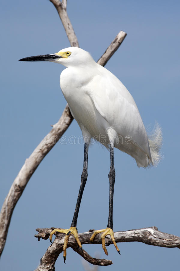Snowy Egret bird in the Florida Everglades stock images