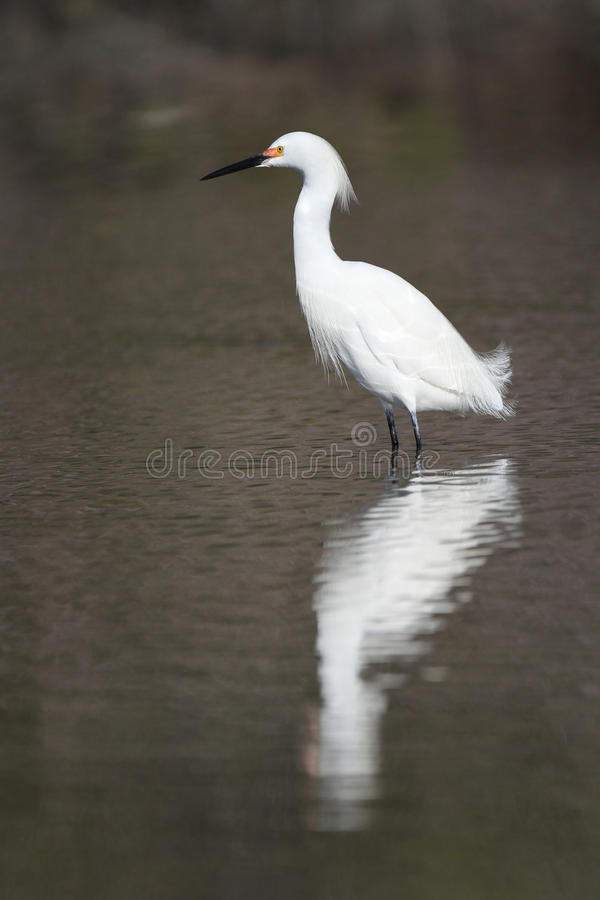 Download Snowy Egret In Breeding Plumage Stock Image - Image: 23934967