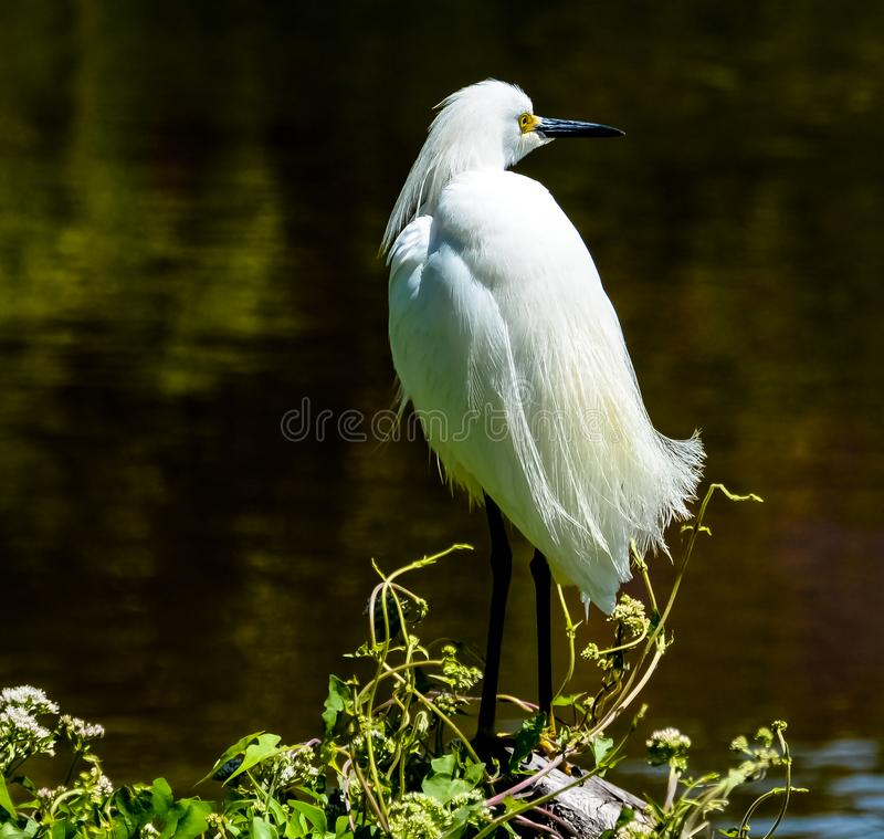 Snowy Egret in Breeding Plumage. Close up photo of a snowy egret in breeding plumage standing at the edge of a Florida wetland marsh royalty free stock image