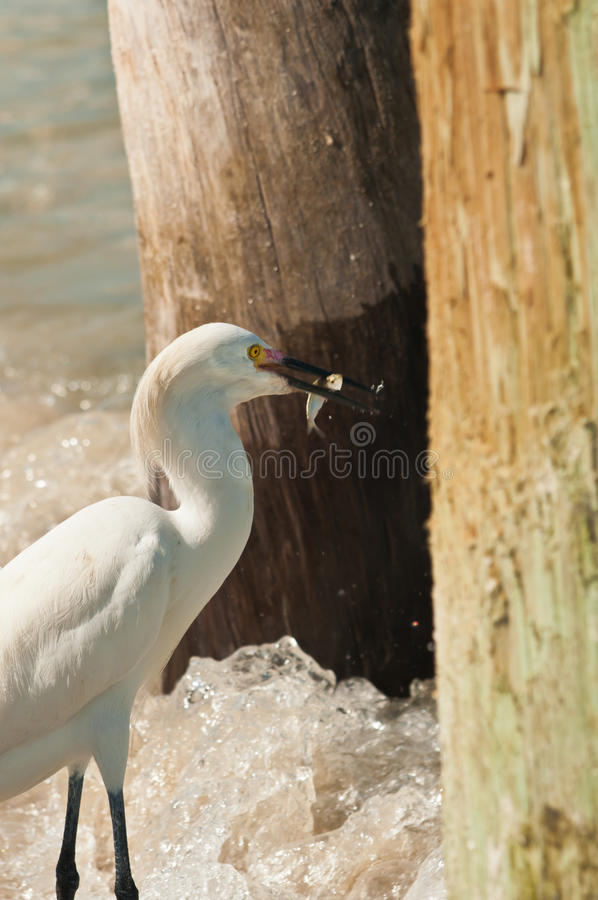 Snowy egret caches small fish in sea waters stock photo