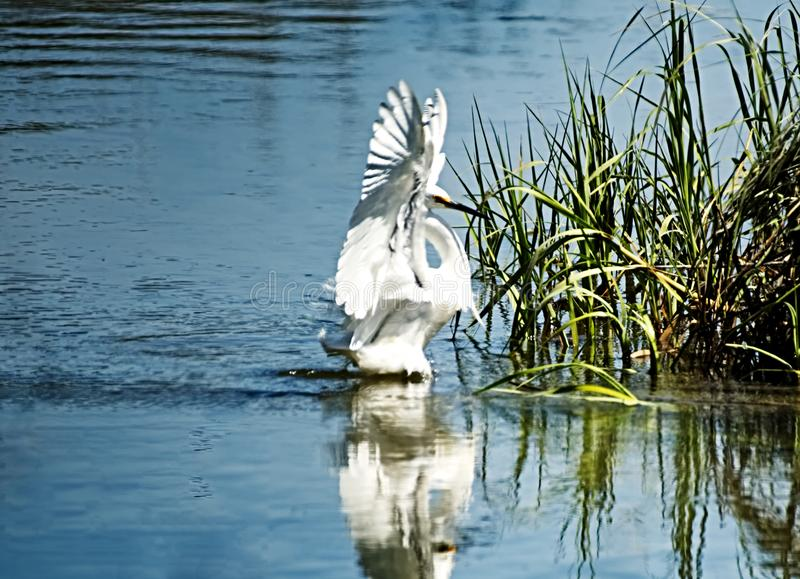 A snowy egret coming in for a landing. royalty free stock image