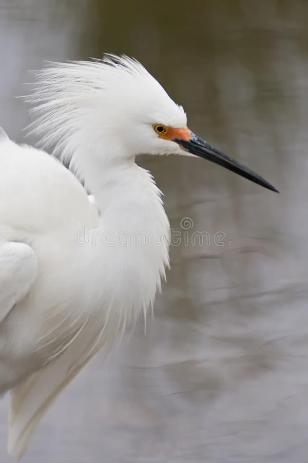 Snowy Egret Displaying plumage. stock photography