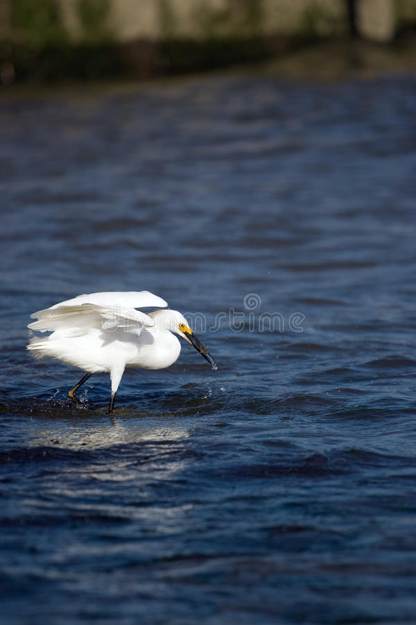 Snowy Egret Eating Fish