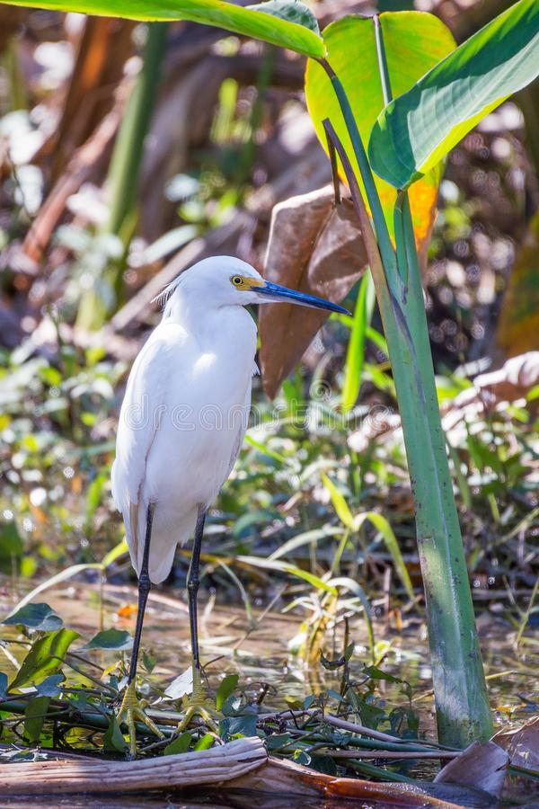 Snowy egret in Big Cypress National Preserve.Florida.USA royalty free stock images