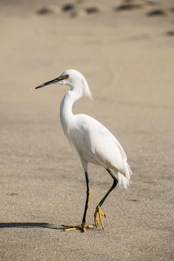 Snowy Egret fotografia de stock