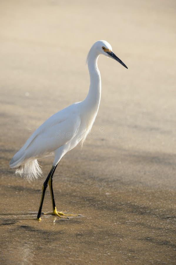 Snowy Egret foto de stock royalty free