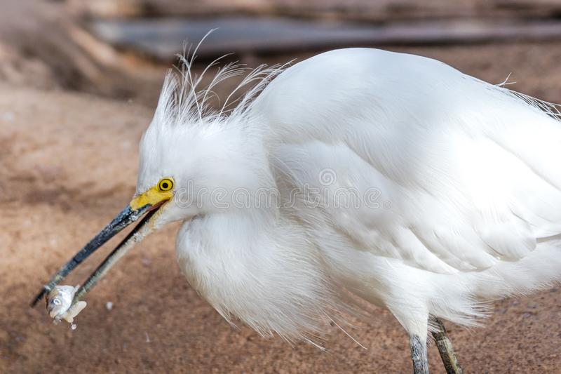 Snowy Egret Eating Fish at Phoenix Zoo. A Snowy Egret Egretta thula enjoys a meal at the Phoenix Zoo in Phoenix, Arizona stock photography