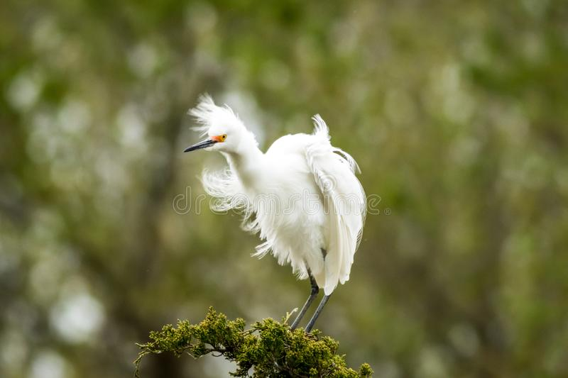 Snowy Egret looks graceful and elegant in delicate plumage on green branch. Snowy Egret, Egretta thula, a small white heron looks graceful and elegant in royalty free stock photos