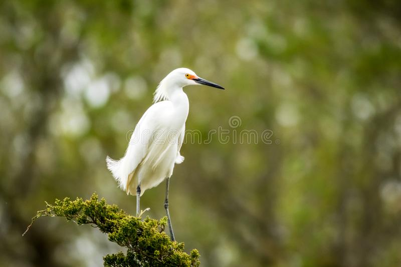 Snowy Egret looks graceful and elegant in delicate plumage on green branch. Snowy Egret, Egretta thula, a small white heron looks graceful and elegant in royalty free stock image