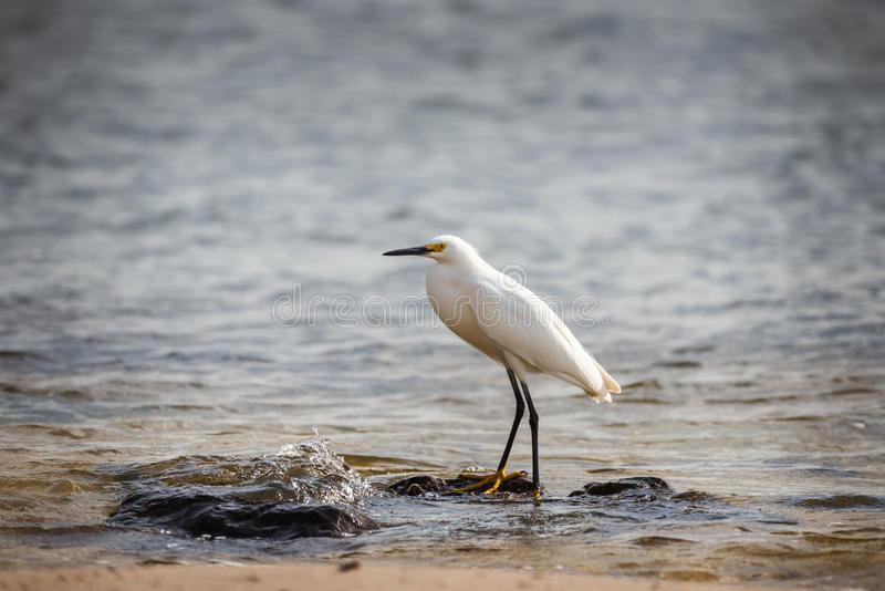 Snowy Egret Egretta thula standing at ocean shore. Egret walking on a shoreline in search of food royalty free stock image