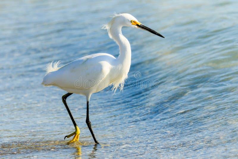 Snowy Egret em t;he Beach imagens de stock royalty free