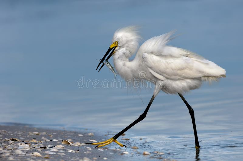 A snowy egret with a fish catch. A snowy egret with fluffy feathered plumage wades out of the water with a ballyhoo fish catch at Wiggins Pass, Florida royalty free stock photo