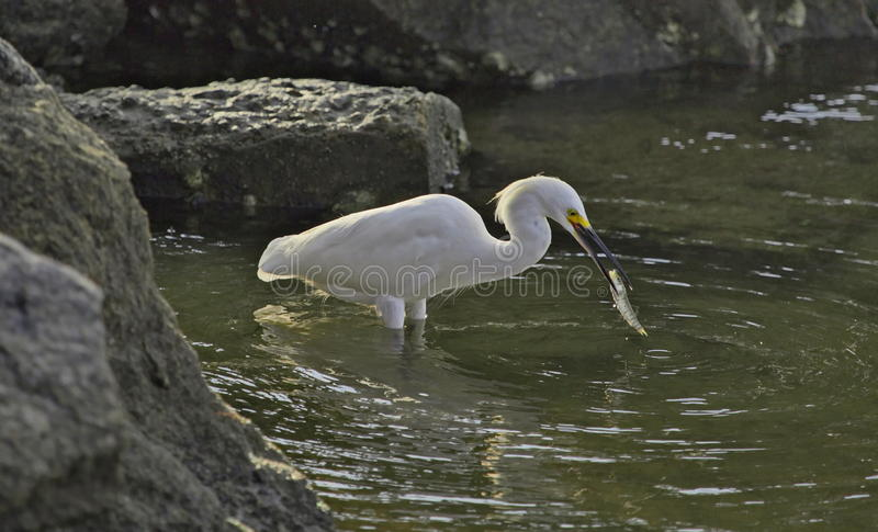 Snowy Egret with fish stock image