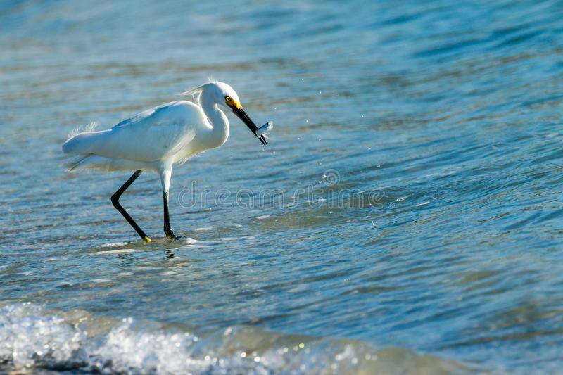 Snowy Egret with Fish at Myakka State Park stock photography