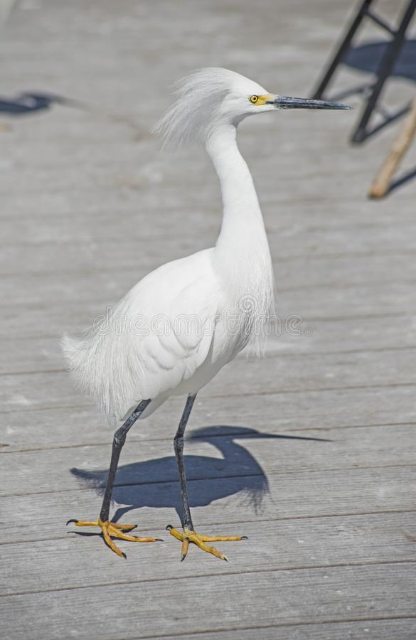 A Snowy Egret walks the piers looking for fish scraps. The Snowy Egret is a fisherman`s nuisance stock photo