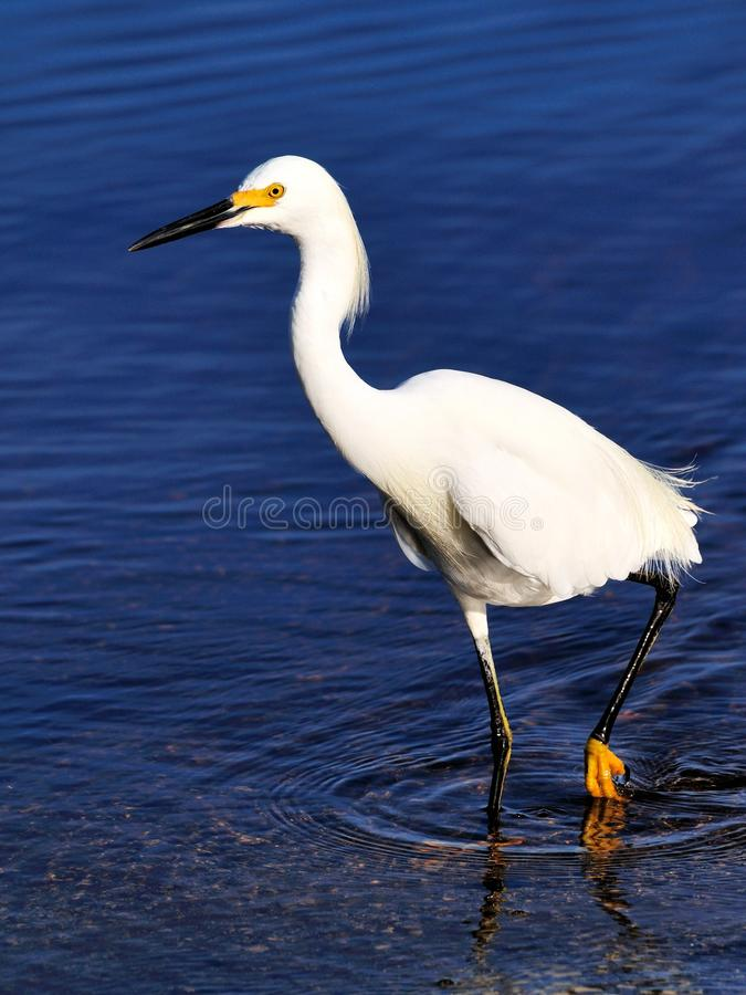 Snowy Egret Fishing Royalty Free Stock Image