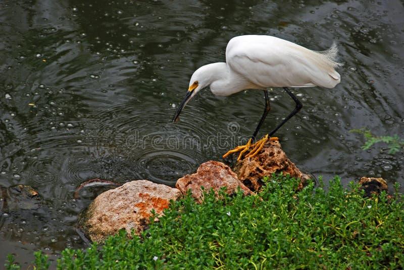 Snowy egret fishing stock image