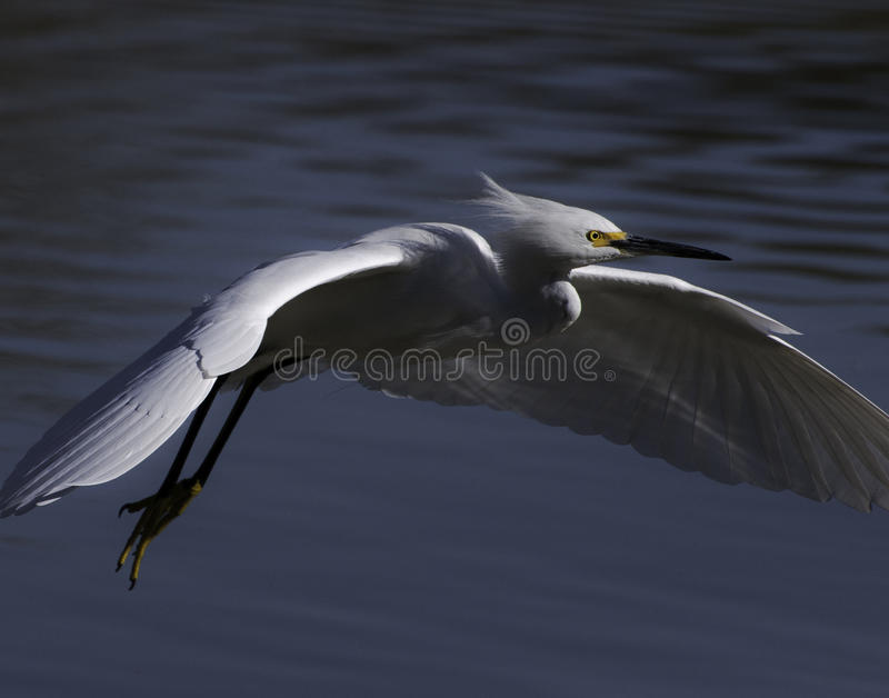 Snowy egret in flight royalty free stock photo