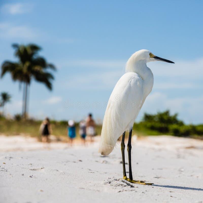 Snowy Egret On Florida Beach Stock Photo