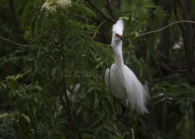 Mating Snowy Egret Plumage Florida. Snowy egret in Florida. Plumage out to attract a mate royalty free stock photos