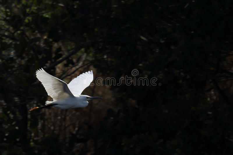 Snowy egret flying in front of dark bushes. One Snowy egret flying in front of dark bushes royalty free stock image