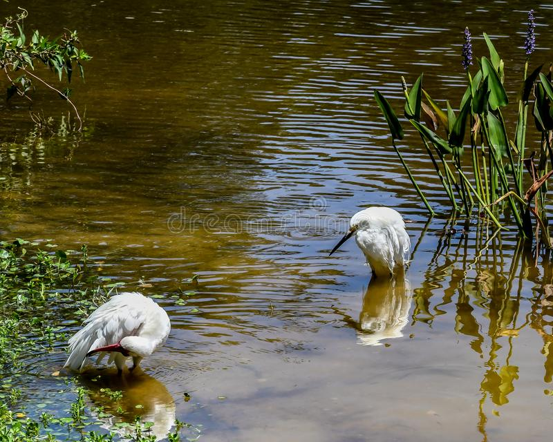 Snowy Egret and an Ibis Sharing a Bath royalty free stock photos
