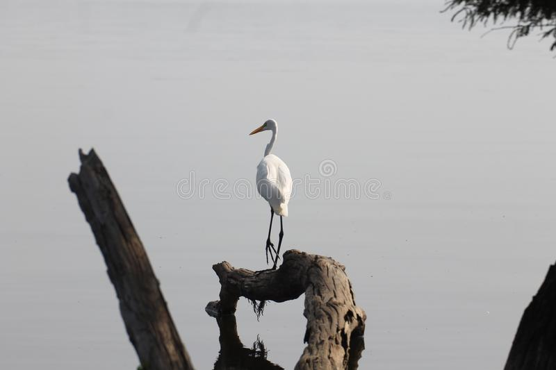 Snowy egret looking for lunch royalty free stock images