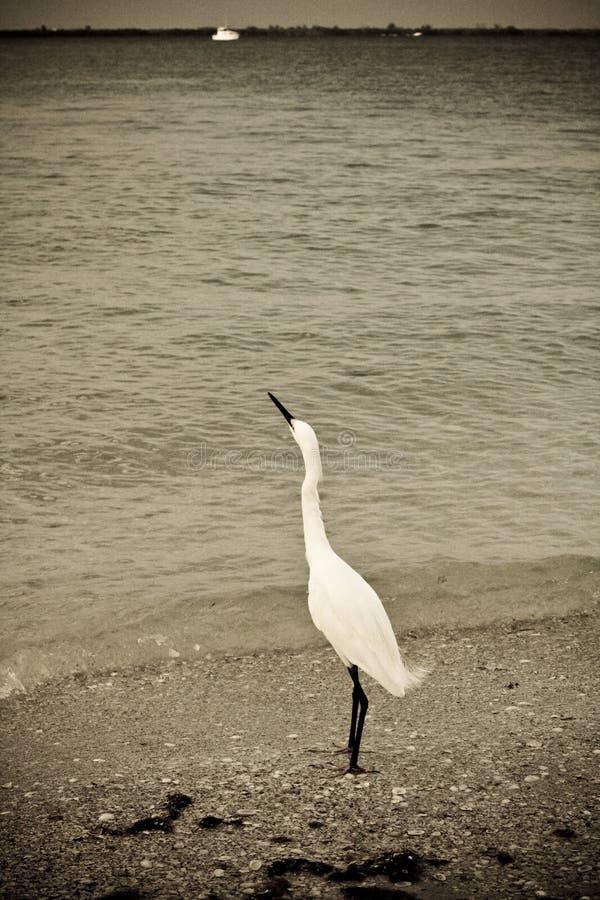 Free Snowy Egret Looking Skyward Ol Stock Photography - 2705092