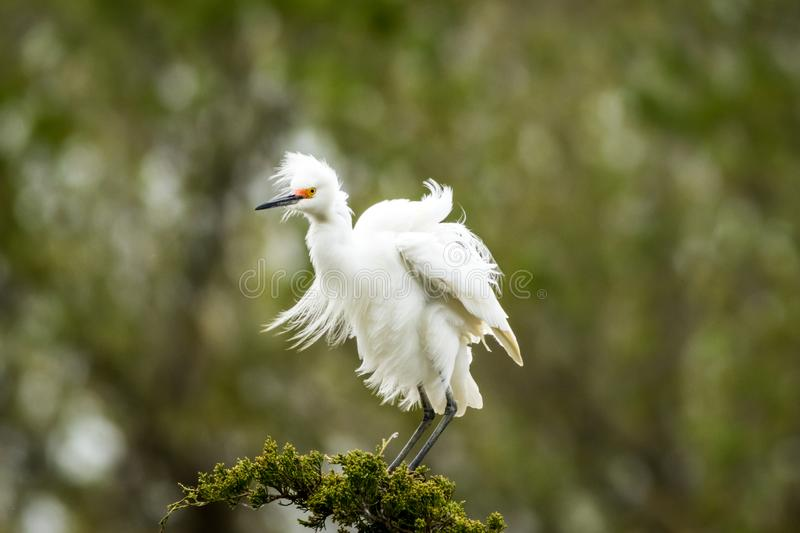 Snowy Egret looks graceful and elegant in delicate plumage on green branch. Snowy Egret, Egretta thula, a small white heron looks graceful and elegant in royalty free stock images