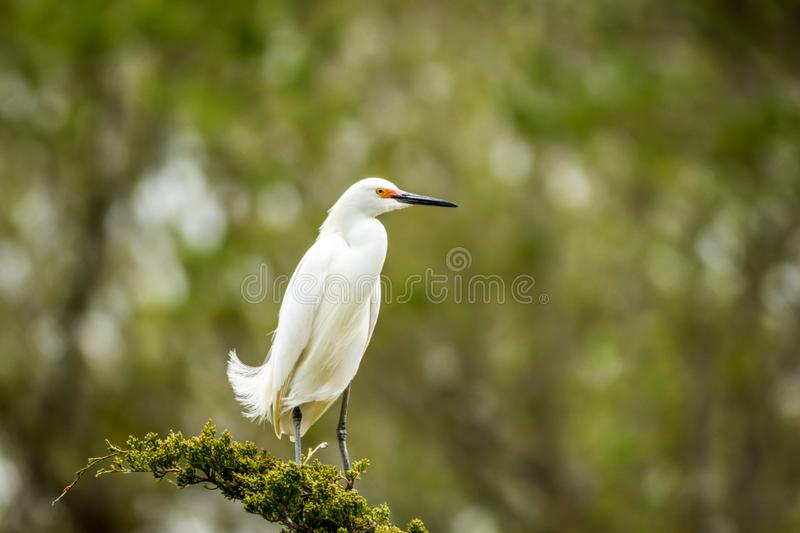 Snowy Egret looks graceful and elegant in delicate plumage on green branch. Snowy Egret, Egretta thula, a small white heron looks graceful and elegant in royalty free stock photo