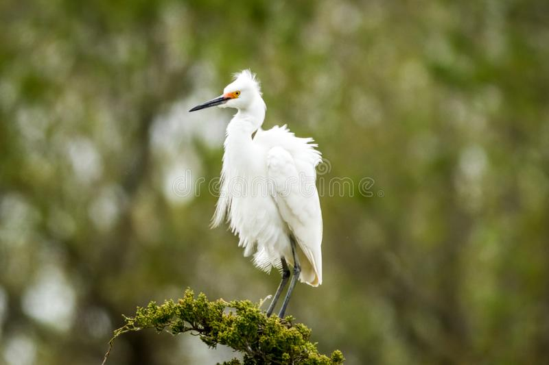 Snowy Egret looks graceful and elegant in delicate plumage on green branch. Snowy Egret, Egretta thula, a small white heron looks graceful and elegant in stock photography