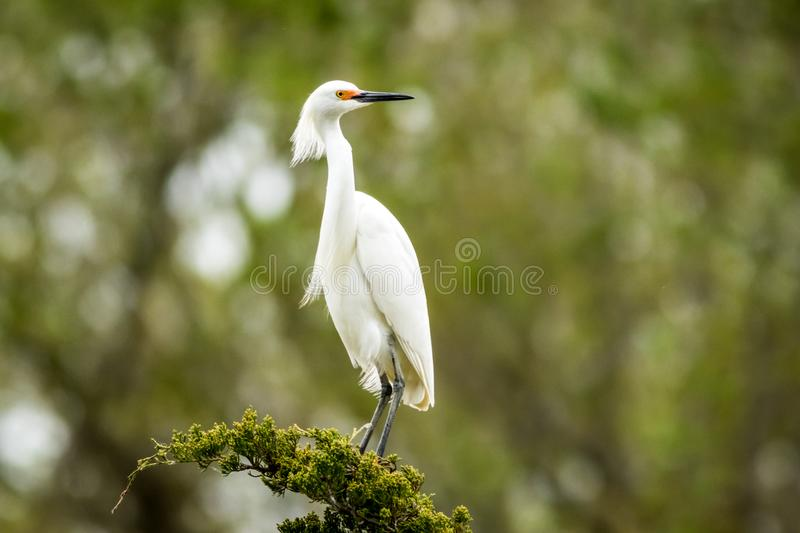 Snowy Egret looks graceful and elegant in delicate plumage on green branch. Snowy Egret, Egretta thula, a small white heron looks graceful and elegant in stock photo