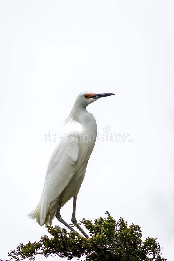 Snowy Egret looks graceful and elegant in delicate whispy plumage on green branch on white. Snowy Egret, Egretta thula, a small white heron looks graceful and stock images