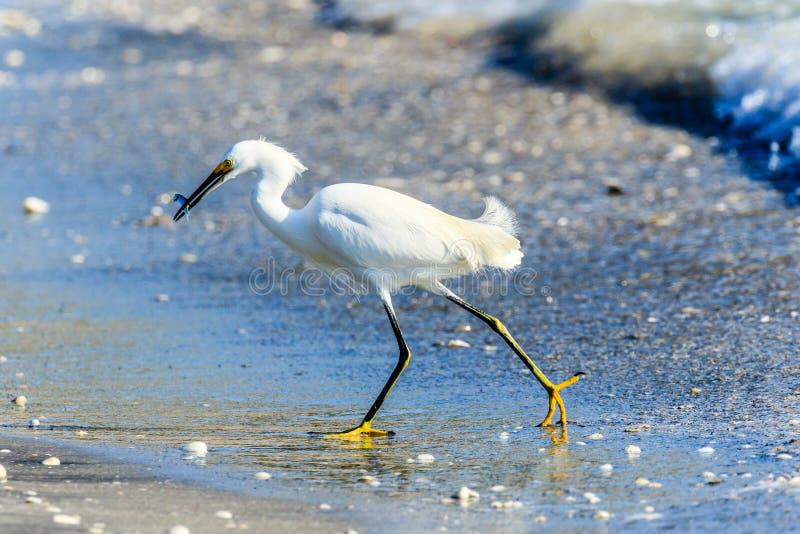 Snowy Egret loopt naar strand met vis stock afbeelding