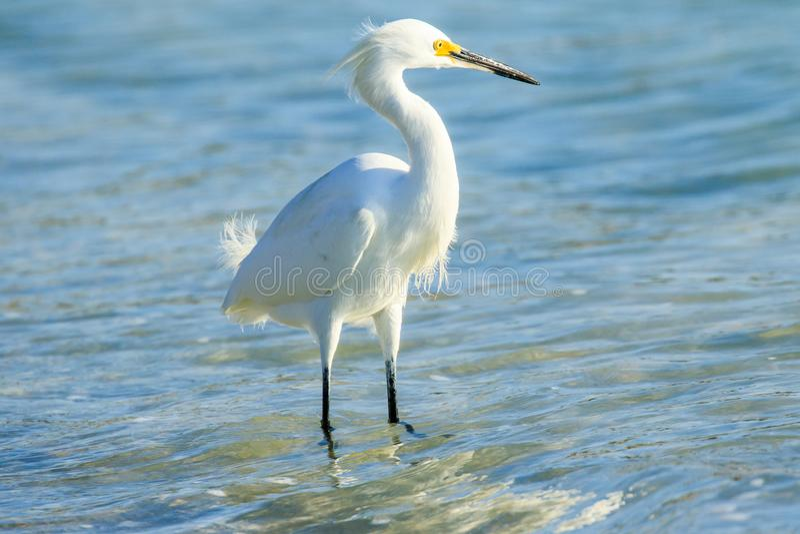 Snowy Egret no Parque Estadual de Myakka foto de stock royalty free