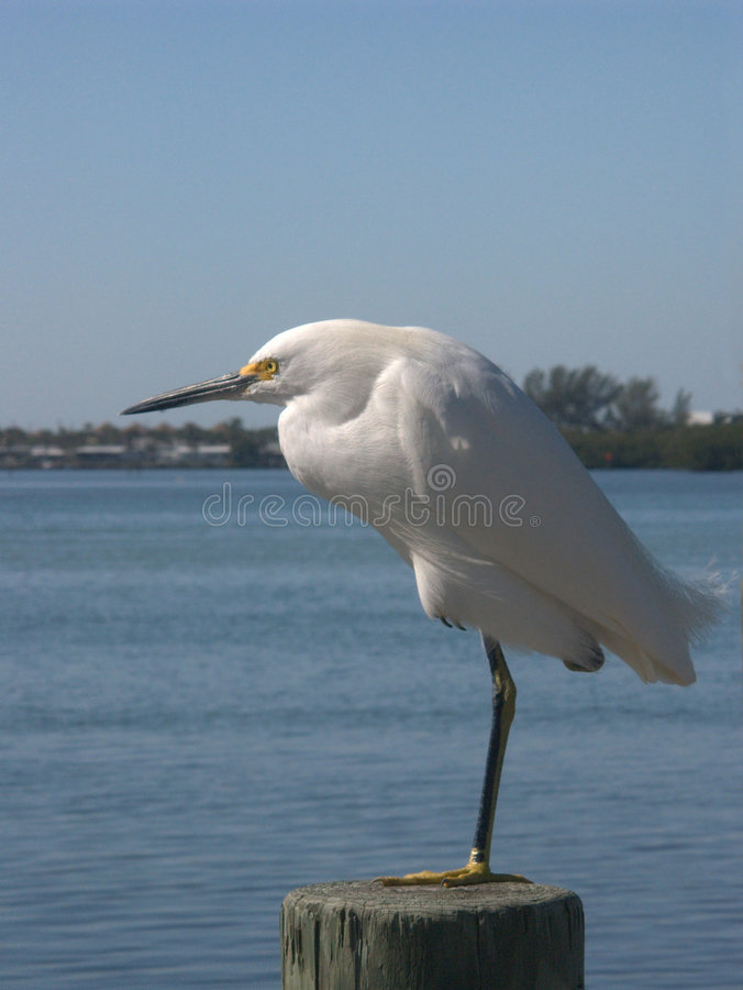 Snowy Egret At The Ocean Stock Photography