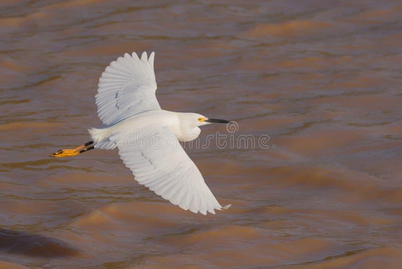 Snowy egret op vlucht royalty-vrije stock foto's