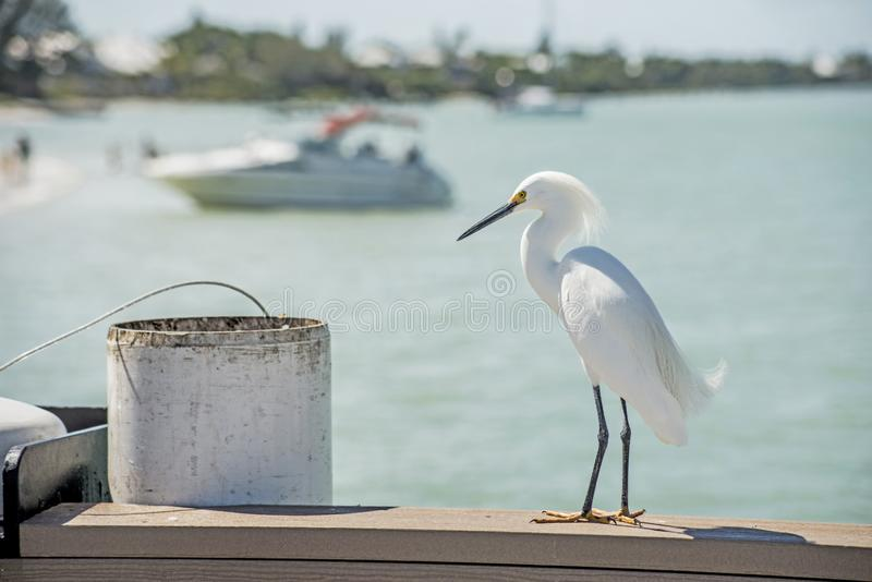 A Snowy Egret perches on a fishing pier waiting for fish scraps. royalty free stock images