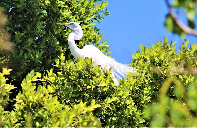 Snowy Egret, Phoenix Zoo, Arizona Center for Nature Conservation, Phoenix, Arizona, United States royalty free stock image