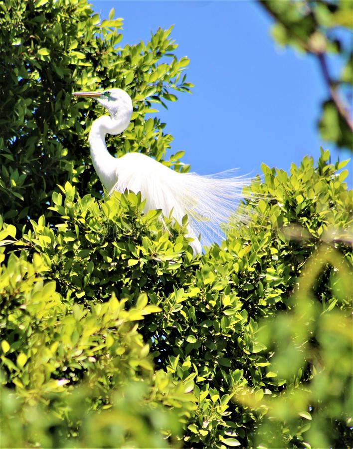 Snowy Egret, Phoenix Zoo, Arizona Center for Nature Conservation, Phoenix, Arizona, United States stock photography