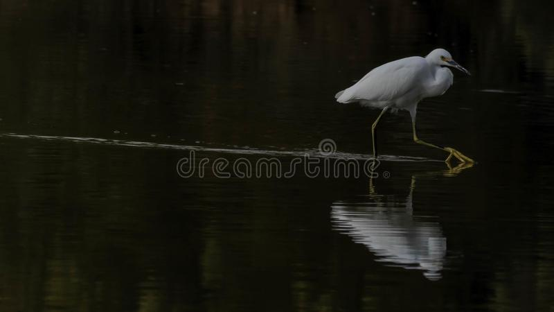 Snowy egret in pond royalty free stock images