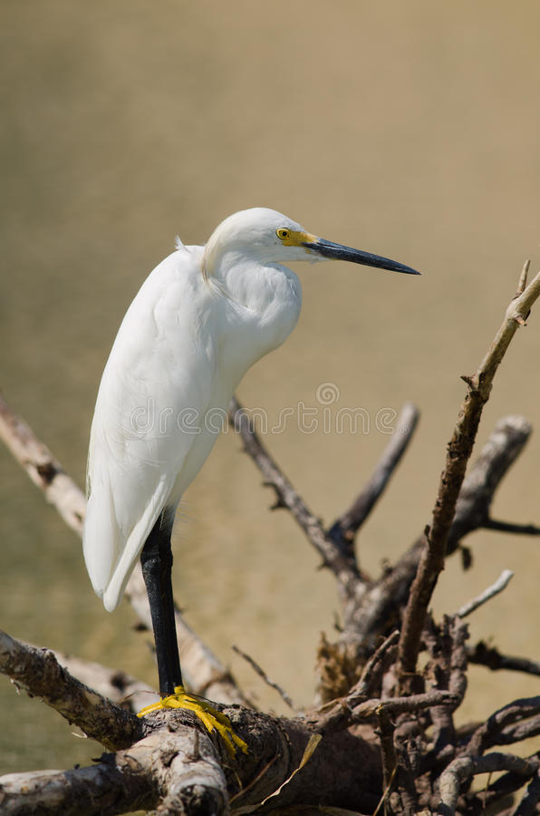 Free Snowy Egret Portrait Royalty Free Stock Images - 33465159