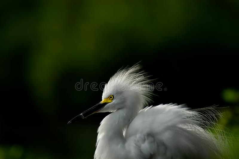 A snowy egret portrait with breeding plumage. A snowy egret Egretta thula portrait with breeding plumage and green and black creamy soft focus background royalty free stock photo