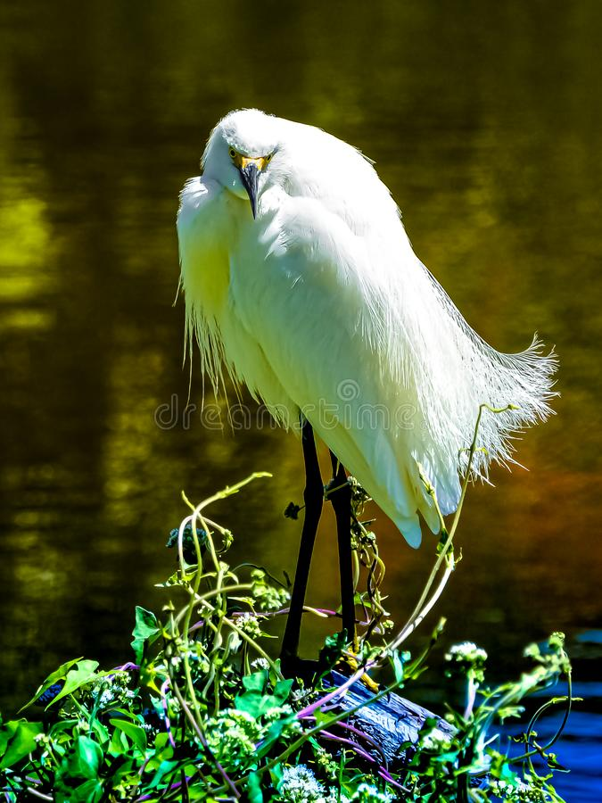 Snowy Egret Posing for the Camera stock photo