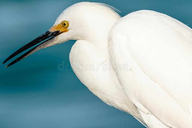 Snowy Egret Profile Blue Background stock afbeelding