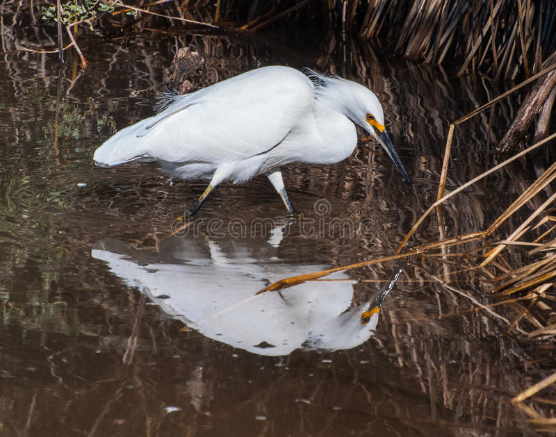 Snowy Egret. Prowling the shoreline at the Gilbert Riparian Preserve, this snowy egret is looking for its next meal. The egrets plumage used to be prized for its royalty free stock photos
