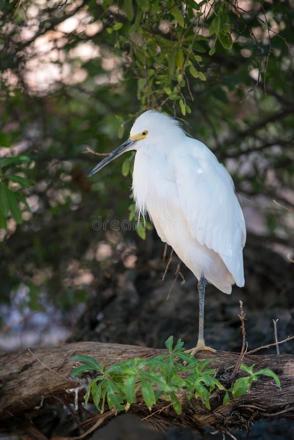 Snowy egret resting on one leg on log along shoreline royalty free stock image
