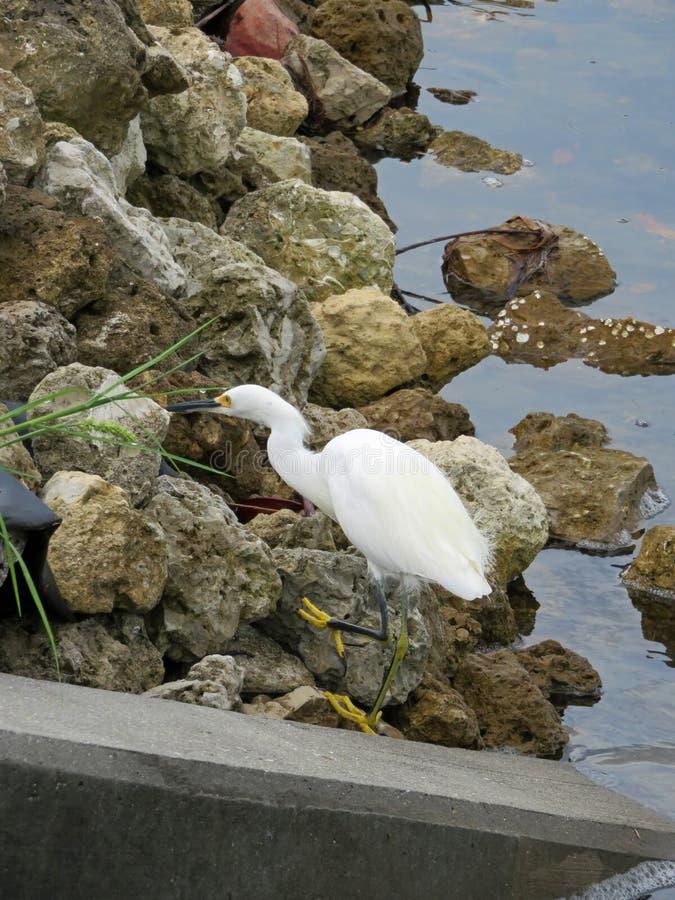 Snowy egret on rocks royalty free stock photography