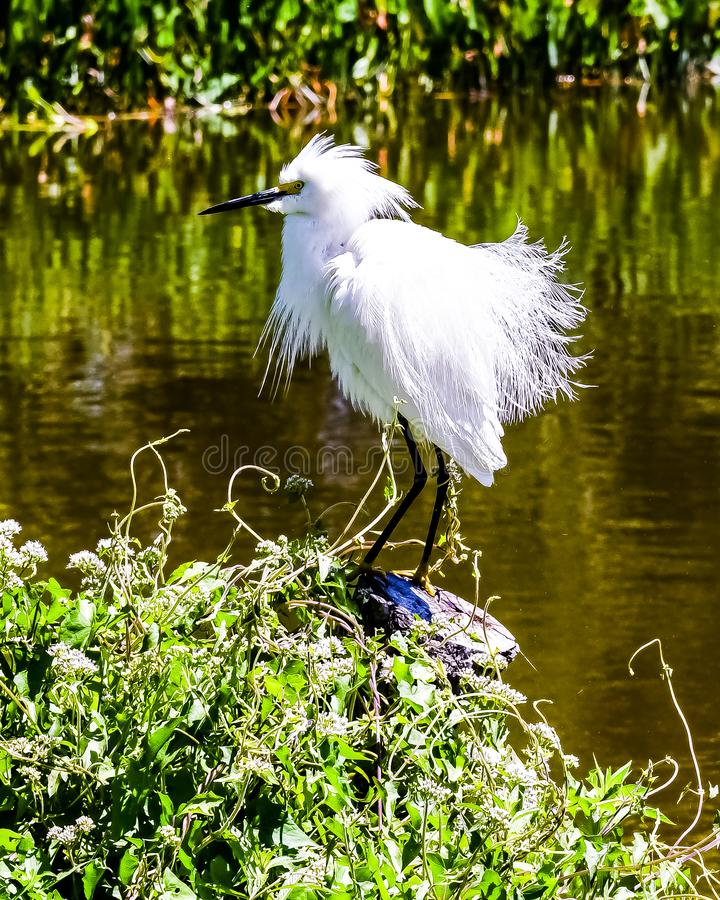 Snowy Egret Showing off His Plumage royalty free stock image