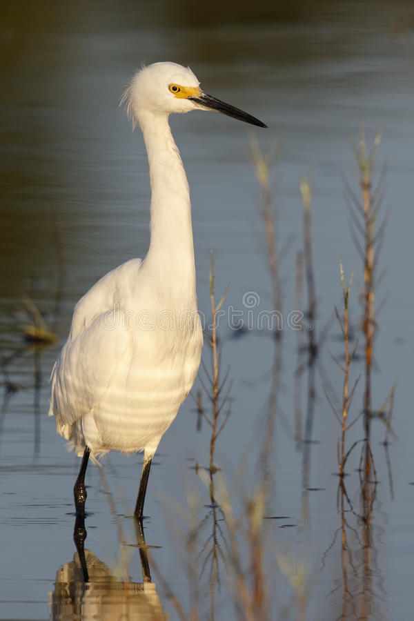 Snowy Egret standing in a shallow pond- Florida royalty free stock photography
